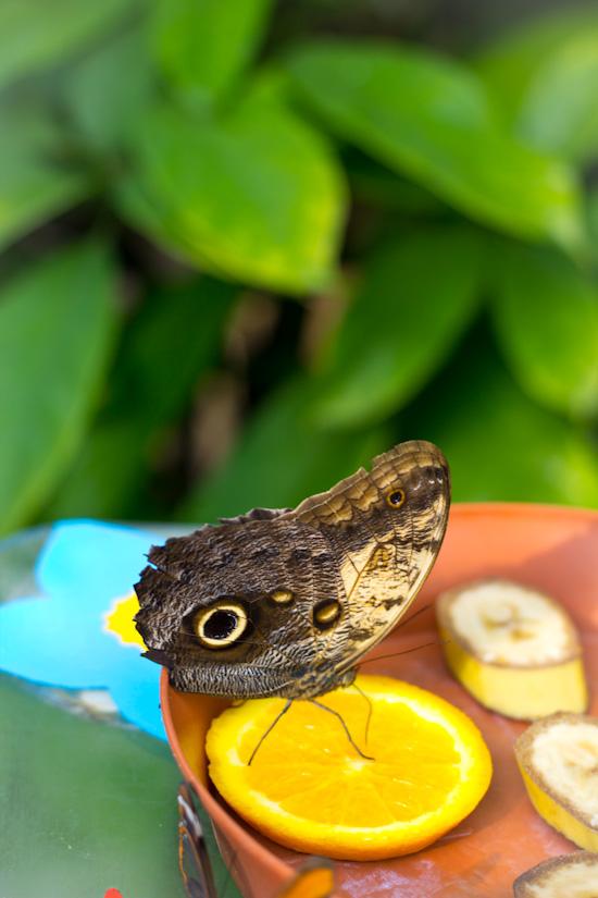 Vlinder in de vlindertuin van Hortus